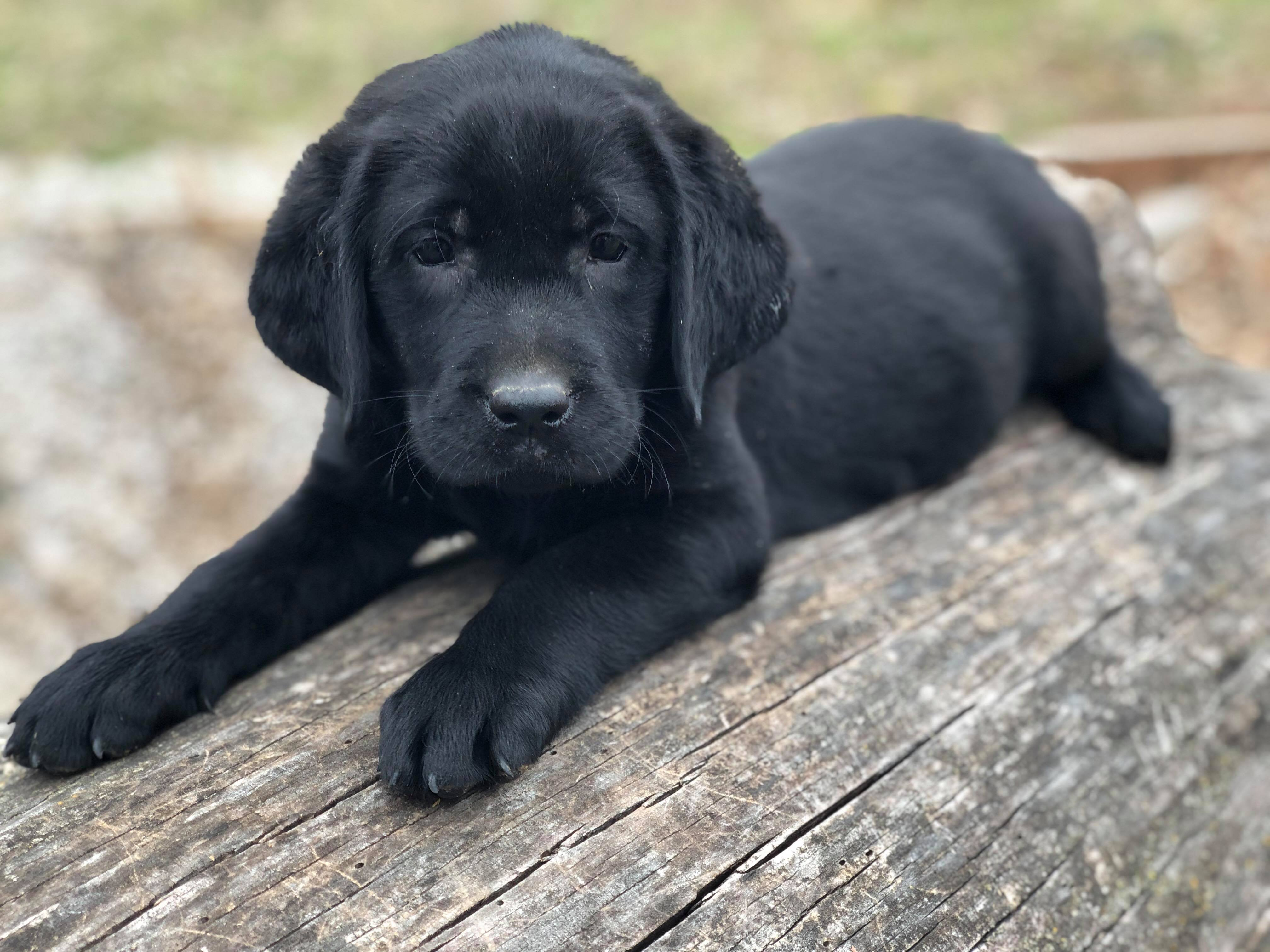 bubbles_best_lab_breeder_oklahoma_black_lab_puppies