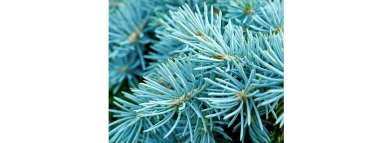 blue spruce scented candles and products