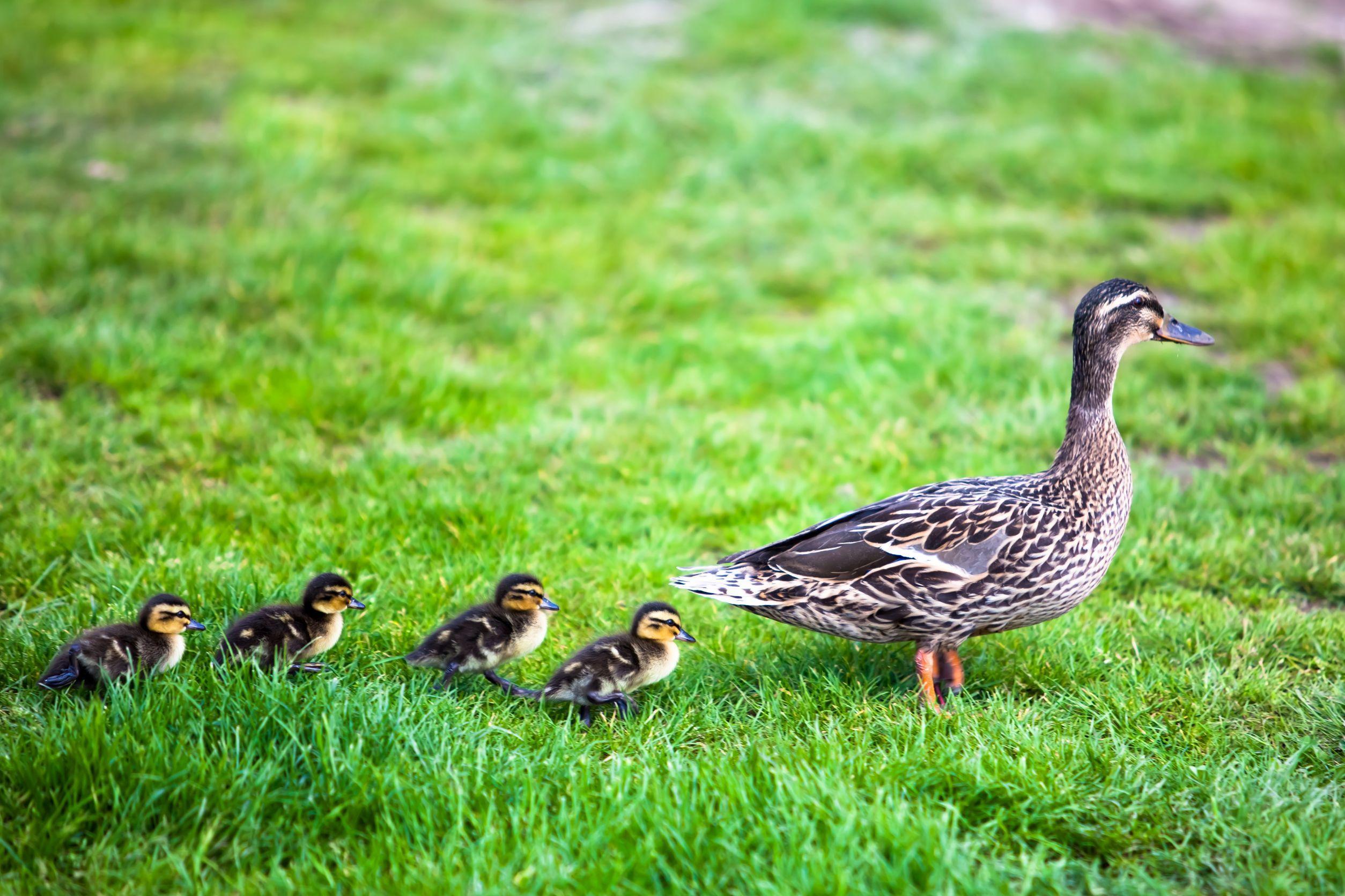 19869524 – family of ducks