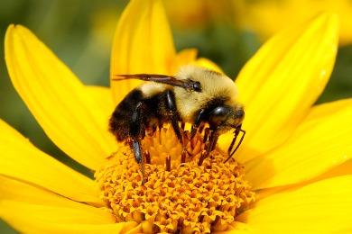 https://i2.wp.com/www.sophisticatededge.com/wp-content/uploads/2015/01/do-bubmlebees-sting.jpg?w=474