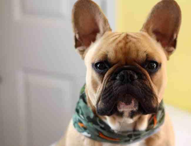 Dog Buff