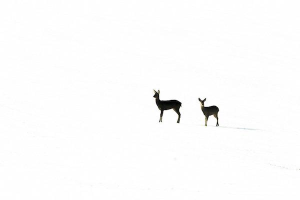 """""""Roe Deer in four Seasons (Winter)"""" de Kevin Sawford. Categoría: estaciones británicas."""