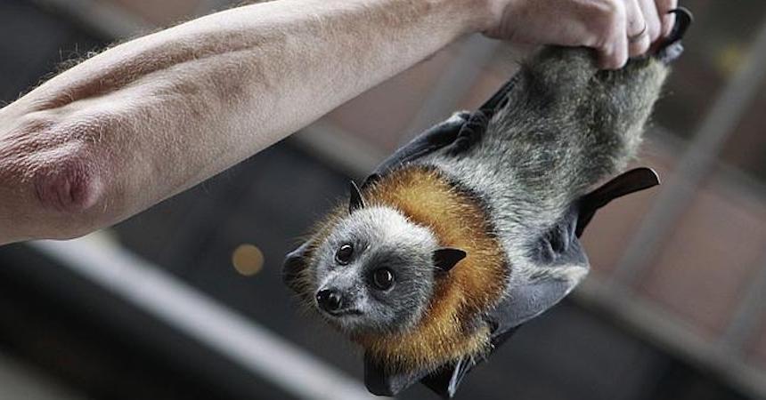 Zorro Volador Australiano