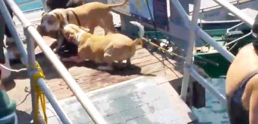 Pitbull - ataque a un perro pequeño