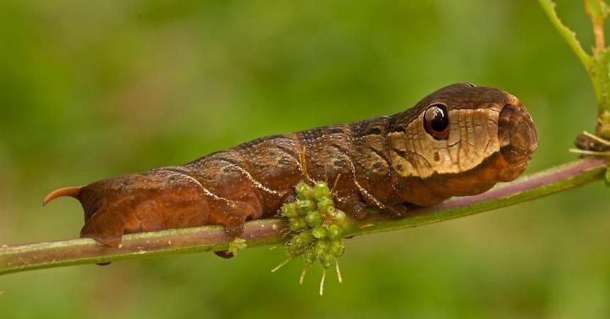 Oruga - Serpiente de dos cabezas