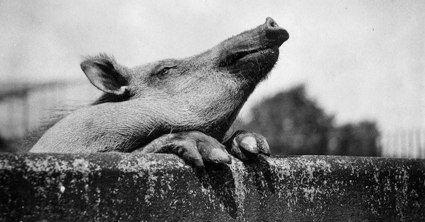 Hombre ebrio fallece tras pelearse con un cerdo que lo hizo enfurecer en Oaxaca