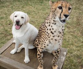Cheetah y su perro