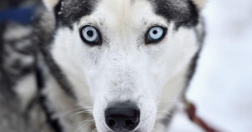 Acercamiento a cara de perro de trineo