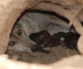 Hembra lobo con sus crías