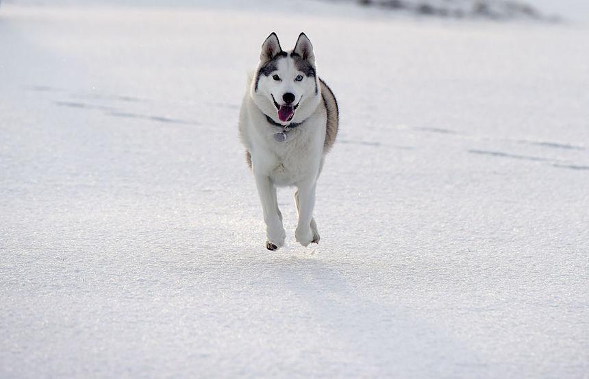Perro de trineo corriendo