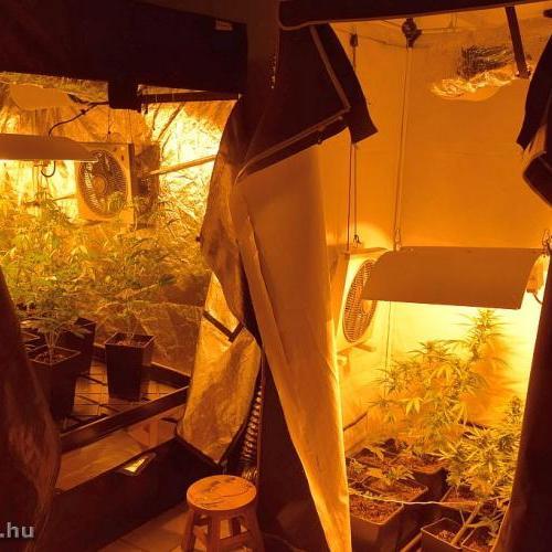 Ágfalvi otthonában termesztette a kábítószert