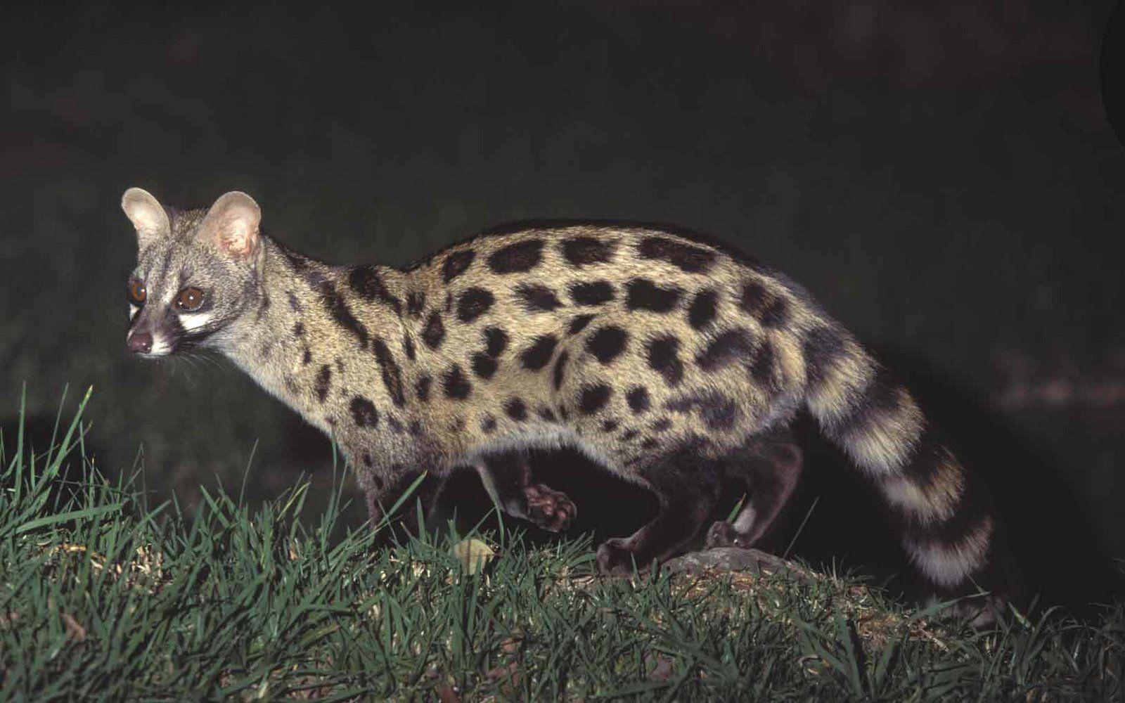 Fauna 5 Gineta