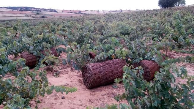 Viñedos de Berzosa, donde se aprecian los cestos típicos para recoger la uva durante la vendimia