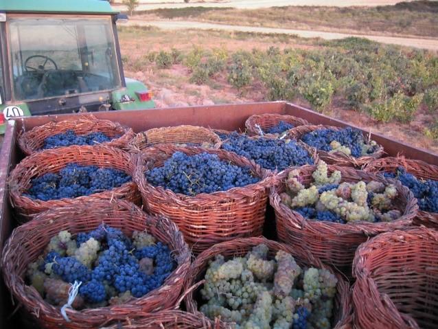 Vendimia en los viñedos Berzosinos