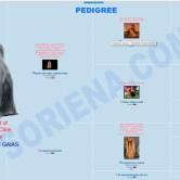 Pedigree-CH.-Cocker-Liberi-Gaias Mult. & Int Ch. Cocker Liberi Gaias