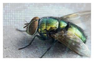 genetically_modified_flies1.jpg
