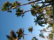 Palm trees against a blue sky in Aruba