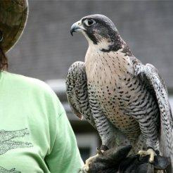 marlaisaacbirdsofprey
