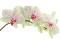 Flourish like an orchid