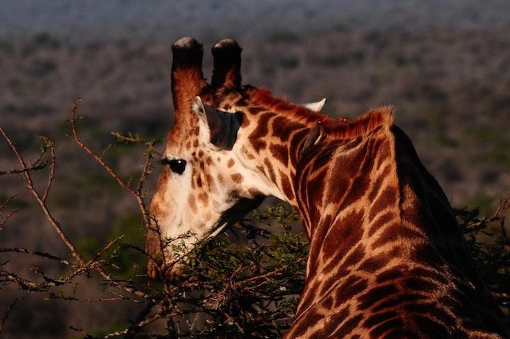 Nostra signora la Giraffa