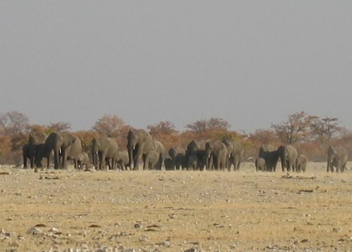 branco di elefanti in Namibia