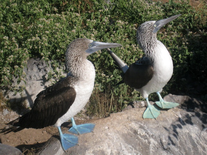 Coppia di sule alle Galapagos