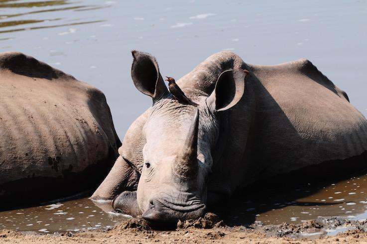 Mkhaya Game reserve, viva i rinoceronti e gli ippopotami