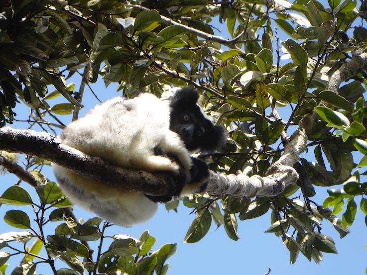 Madagascar come lemuri indri indri