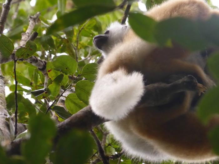 Sifaka coronato che guarda orizzonte, Madagascar