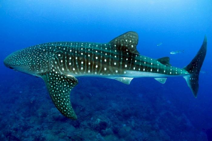 Squalo balena, da Pixabay