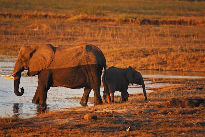 Chobe National Park, elefanti