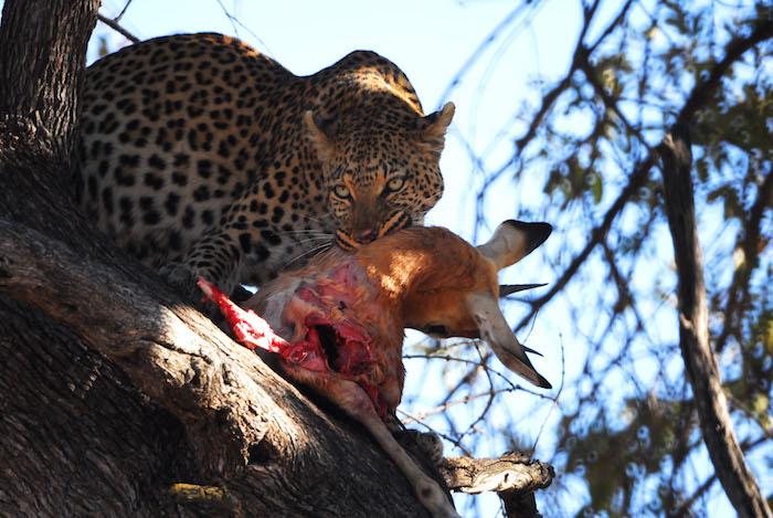 Moremi Game reserve leopardo