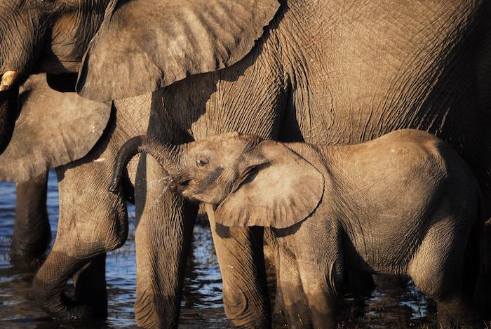 Piccolo di elefante alla pozza