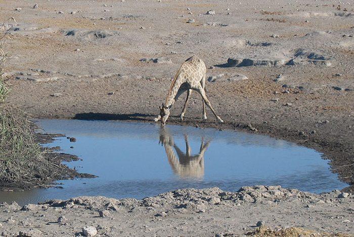 giraffa_namibia_camping