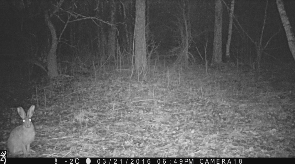 Night shot of a hare sitting in the woods looking toward the trail cam.