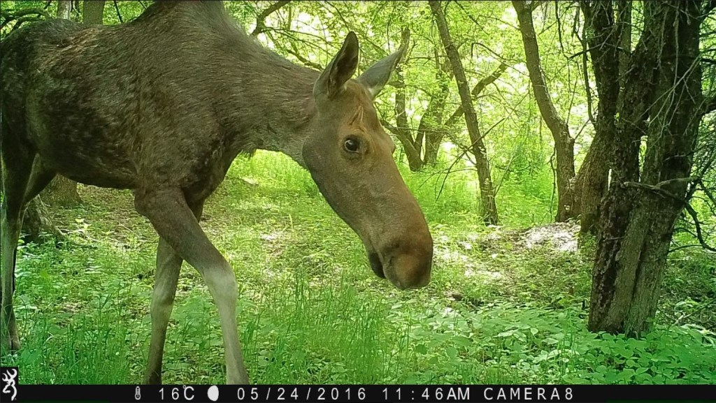 Moose side-eyeing trail cam in a wooded area.
