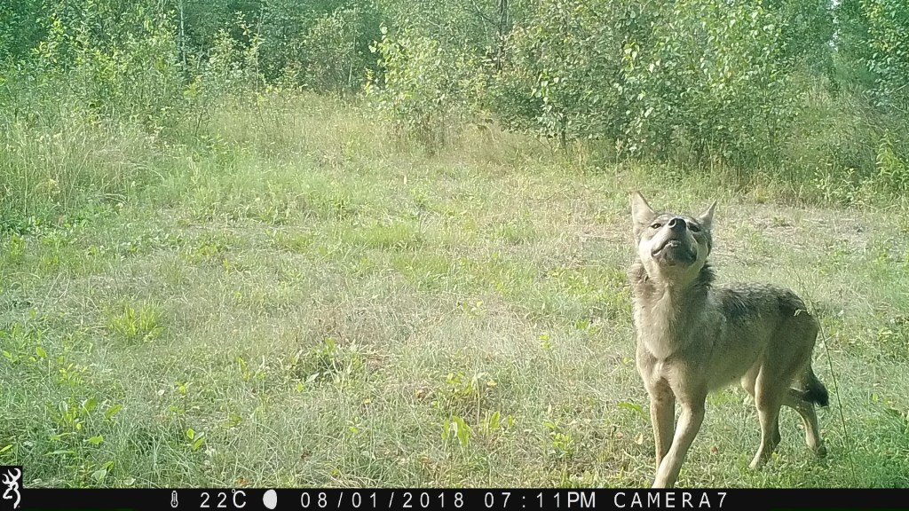 Wolf in a grassy area looking up, mouth slightly open with teeth showing.