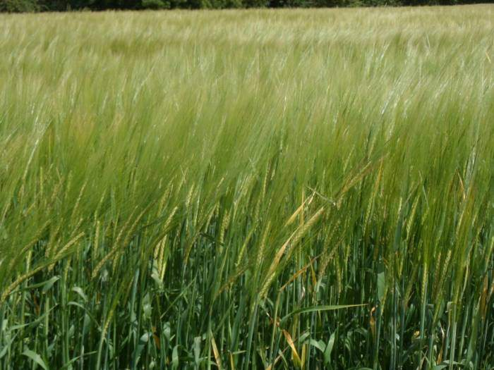 A different strain of barley