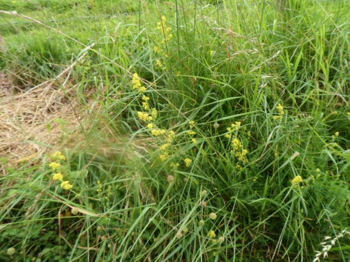 And lady's bedstraw