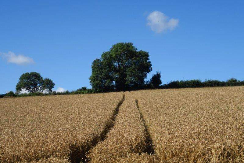 A field of wheat nearly ready for harvest