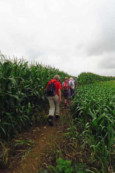 Through a field of Maize