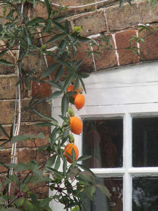 Back in Arlingham - is this a clematis or a passion fruit or what?
