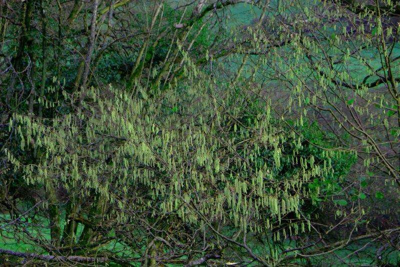 Catkins starting to show