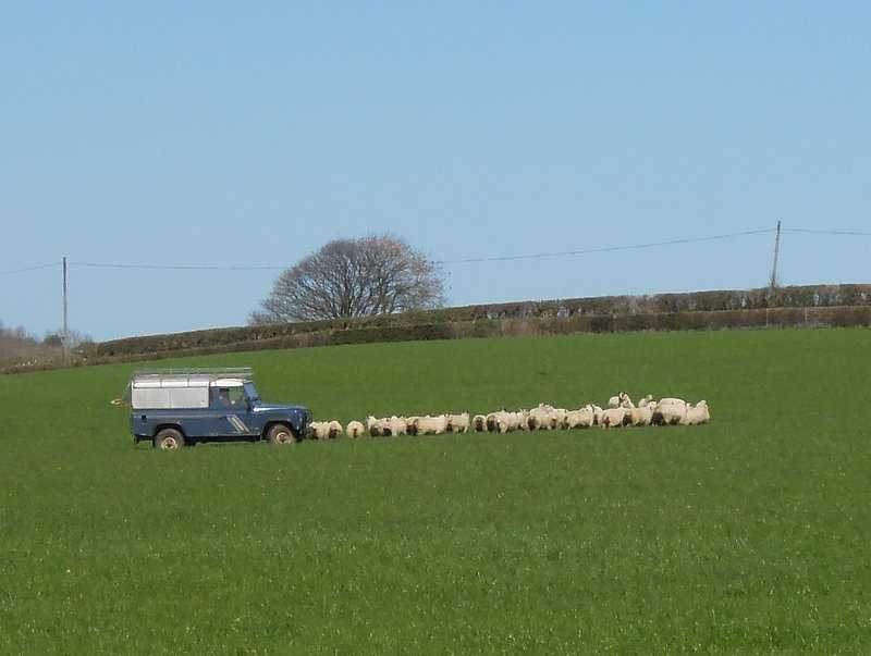 We hear quiet tooting - it's a new method of driving the flock!