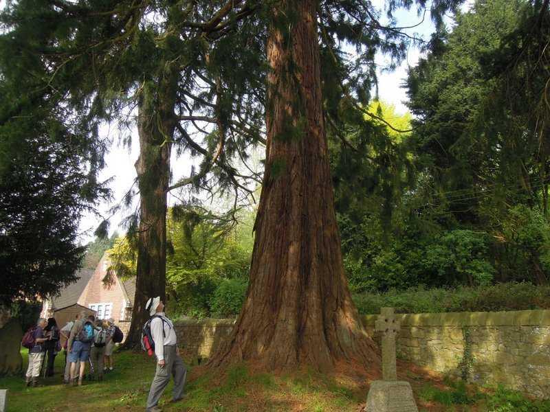 A giant redwood near the church
