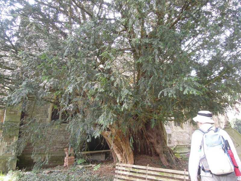 And a yew tree, possibly 1,000 years old