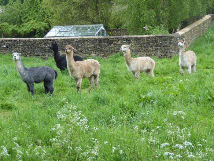 Watched by some inquisitive alpacas