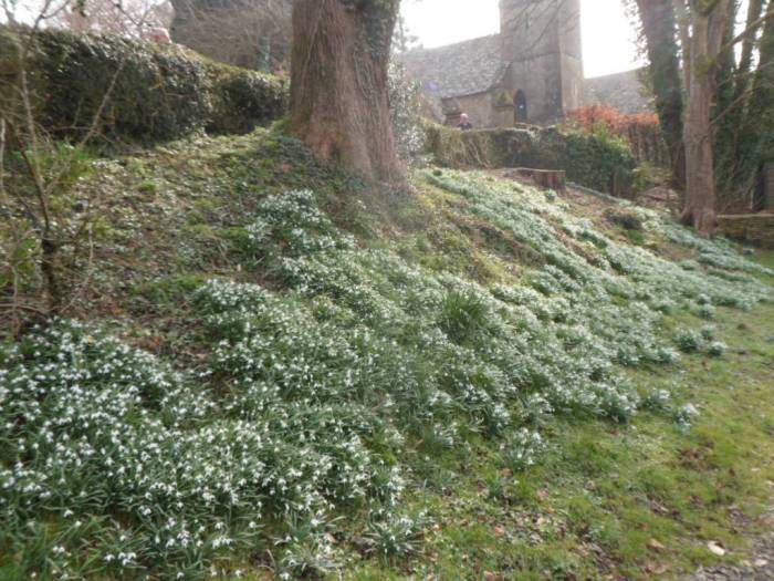 Passing a bank of snowdrops still hanging on