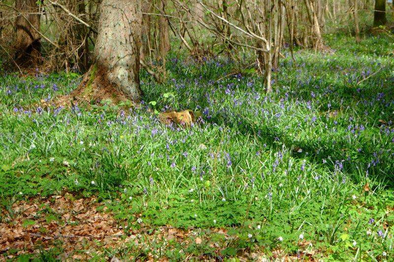 With bluebells