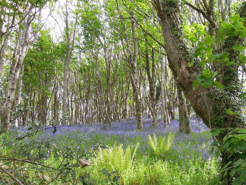 Through a host of bluebells